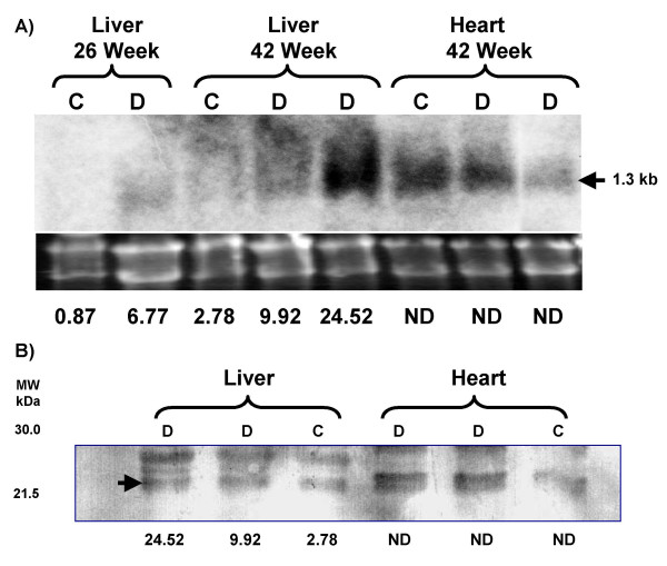 CIDE-A Northern and Immunoblot analyses . A) Northern analysis of RNA extracted from normal (C) and type 2 diabetic (D) liver and heart tissue. Total RNA (10 μg) from the appropriate tissues was resolved by denaturing agarose gel electrophoresis, transferred to positively charged nylon membrane, hybridized with the [α- 32 P]dCTP-labeled mouse CIDE-A cDNA and exposed to Bio-Max MR film. Ethidium bromide stain of RNA (10 μg/lane) prior to transfer to nylon membrane. The values represent the level of CIDE-A gene expression for the individual tissue as determined by DNA microarray analysis (ND: not determined). The approximated size (1.3 kb) of the CIDE-A mRNA is noted on the right. B) Immunoblot demonstrating increased CIDE-A protein levels in type 2 diabetic mouse liver. Sixty μg of liver and heart extract was electrophoresed on a 12.5% SDS-polyacrylamide gel and the resolved proteins transferred to a nitrocellulose membrane. The membrane was immunoblotted using a rabbit anti-mouse CIDE-A polyclonal antibody and a goat anti-rabbit IgG polyclonal antibody conjugated to horseradish peroxidase. Arrow indicates mouse CIDE-A. The values represent the level of CIDE-A gene expression for the individual tissue as determined by DNA microarray analysis (ND: not determined).