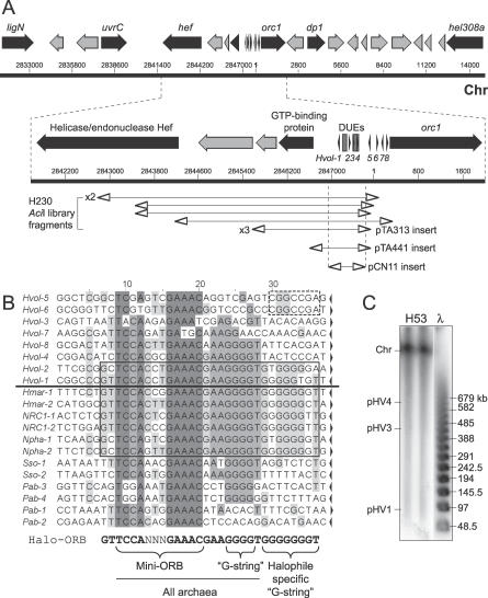 """DNA Replication Origin on the Main Chromosome: oriC1 (A) Sequence features of the ARS element isolated from genomic libraries of H230 DNA, including selected genes (see text for details). Coordinates of plasmid inserts generated by AciI digestion are shown (including insert in pTA313), in addition to the minimal ARS element in pTA441 and pCN11. See Figure 1 A for key. Numbering refers to TIGR contig number 455. Main chromosome, Chr. (B) Above the line are sequences of repeats found at the intergenic region of the H. volcanii chromosomal replication origin (correspond to numbered arrows in Figure 2 A). Below the line are sequences of repeats found at other (presumed) archaeal origins. The species and relevant cdc6/orc1 genes are H. marismortui cdc6–4 (Hmar-1–2), Halobacterium sp. NRC-1 orc7 (NRC1-1-2), Natronomonas pharaonis cdc6–1 (Npha-1–2), S. solfataricus cdc6–1 (Sso-1–2), and P. abyssi cdc6 (Pab-1–4). The orientation is indicated by arrows and conserved positions are shaded. Among halophilic archaea, repeats surrounding the primary DUE feature a longer consensus sequence (Halo-ORB, boxed), which contains the core mini-ORB and """"G-string"""" elements also found in other archaea, plus a halophile-specific """"G-string."""" (C) Southern blot of PFG of DNA from strain H53, probed with the AciI ARS insert from pTA313."""