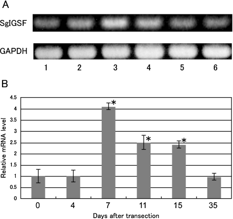 Conventional ( A ) and real-time quantitative ( B ) RT-PCR analyses for SgIGSF mRNA expression in olfactory mucosa after olfactory nerve transection. ( A ) Amplified products for total RNA from olfactory mucosa 0, 4, 7, 11, 15 and 35 days after transection Y (lanes 1–6) were electrophoresed and stained with ethidium bromide. A representative result is shown. ( B ) The relative level of SgIGSF mRNA against GAPDH mRNA at 0 day, arbitrarily set as 1, is plotted against the corresponding values after transection. Each point represents mean±SD of 6 samples. * Significantly different from 0 day value (P