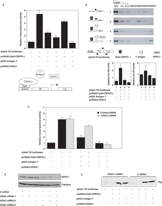 HDAC1 acts in tandem with T antigen to antagonize the transcriptional activity of CBP. (A) HeLa cells were transfected with 2 μg of the Gal4-TK-luciferase reporter, 2 μg of Gal-CBP (FL), 2 μg of pSG5-T antigen, 1 μg of pcDNA3-HDAC1 and 1 μg of renilla reporter vector. Whole cell extracts were used in the luciferase-renilla assay. The activity derived from the Gal4-TK-luciferase reporter was normalized to 1.0 and the other activities are expressed relative to this. The data represent an average of at least five independent transfections. A schematic representation of the constructs used is shown at the bottom of the figure. (B) HeLa cells were transfected with 2 μg of Gal4-TK-luciferase reporter (lane 1), 2 μg of Gal-CBP (FL) (lane 2), 2 μg of pSG5-T antigen (lane 3) and 1 μg of pcDNA3-HDAC1 (lane 4) and comparative ChIP analysis were performed in parallel with the same number of cells using antibodies that specifically recognize acetylated histone H3 (K 9 and 14), poly-acetylated histone H4 and HDAC1. The immunoprecipitates were analyzed by quantitative PCR as in Figure 3 A. Quantification of the acetyl-H3 and <t>acetyl-H4</t> ChIPs bands (as described in Materials and Methods) is shown at the bottom part of the figure. (C) HeLa cells were transfected with 2 μg of the Gal4-TK-luciferase reporter, 1 μg of renilla reporter, 2 μg of Gal-CBP (FL), 2 μg of pSG5-T antigen and 1 μg of pcDNA3-HDAC1 together with 8 μg of HDAC1(1, 2 and 3) or control siRNA vectors. Total cell extracts were prepared 48 h after transfection and used in the luciferase-renilla assay. The activity derived from the Gal4-TK-luciferase reporter in the presence of the control siRNA vectors was normalized to 1.0 and the other activities are expressed relative to this. The diagrams show the relative protein levels obtained from three independent experiments. (D) HeLa cells were transfected with 8 μg of control siRNA or different HDAC1 siRNA (1, 2 or 3) alone or in combination. Total cells extracts were 