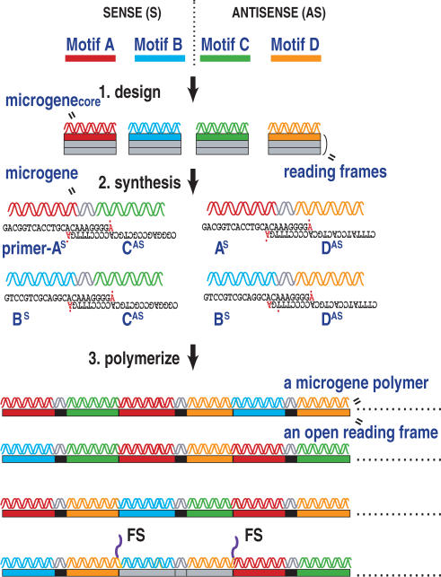 Schematic diagram of a motif-mixing protocol used in this study. Initially, we designed DNA sequences for microgenes core that each encode a peptide motif to be mixed in their first reading frames, after which sense and antisense MPR primers were synthesized based on these microgenes core . These primers share 3′ sequences that enable base-pair formation between the sense and antisense primers, but contain mismatched bases at their 3′-OH ends (shown by red letters with dots). In the polymerization step, motifs can be embedded either in the sense or antisense primer. In the figure, motifs A and B are embedded in the sense primers, producing primers A S and B S , while motifs C and D are in the antisense primers, producing primers C AS and D AS . The thermal cycle reaction is carried out in the presence of these MPR primers, a thermostable, a DNA polymerase and dNTP. The resultant high molecular weight DNAs are combinatorial polymers of multiple microgenes created by stochastic base paring of the MPR primers. In some clones, nucleotide insertions or deletions allow frame shift mutations (denoted by FS), so that peptide sequences encoded by the second and third reading frames appear in the translated products.