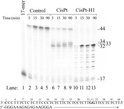 Primer extension activity of RT HIV-1 using the 17mer/44mer primer/template duplex. The experiments were conducted for the times indicated in the figure (5–90 min) using undamaged templates (lanes 2–5), the template containing single, site-specific 1,2-GG intrastrand CL of cisplatin (lanes 6–9) and the template containing single DPCL formed by the transformation of the template containing site-specific 1,2-GG intrastrand CL of cisplatin incubated with histone H1 (lanes 10–13). Lane 1, 17-mer primer. The pause sites opposite the platinated guanines and the nucleotide preceding the platinated guanines (thymine residue on the 3′ side of the CL) are marked 34, 33, 32, respectively. The nucleotide sequences of the templates and the primers are shown beneath the gels. See the text for other details.