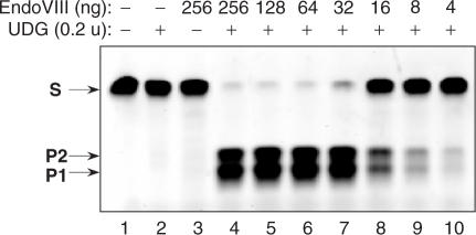 USER enzyme activity assay. A 34-mer oligonucleotide duplex (10 pmol) containing a single dU paired with a deoxyadenine ( Table 1 ) was incubated with a series of EndoVIII and UDG enzyme mixtures for 15 min at 37°C in a 10 μl of T4 DNA ligase reaction buffer (50 mM Tris-HCl pH 7.5, 10 mM MgCl 2 , 10 mM DTT, 1 mM ATP, 20 μg/ml BSA). The reactions were quenched by the addition of 10 μl of 95% formamide, 0.1% xylene cyanol, 0.1% bromophenol blue, 10 mM EDTA, pH 11, and the reaction products were analyzedon a 15% TBE-Urea denaturing gel. S, 34-nt oligonucleotide substrate. P1 and P2, 15 nt and 18 nt cleavage products, respectively. Two product bands of differing size result from the fact that the uracil is not in the centre of the substrate. Lane 1—no enzyme added. Lane 2—reaction contains 0.2 units of UDG. Lane 3—reaction contains 256 ng of EndoVIII. Lanes 4–10, reaction contains 0.2 units of UDG and the amount of EndoVIII shown above the respective lanes.