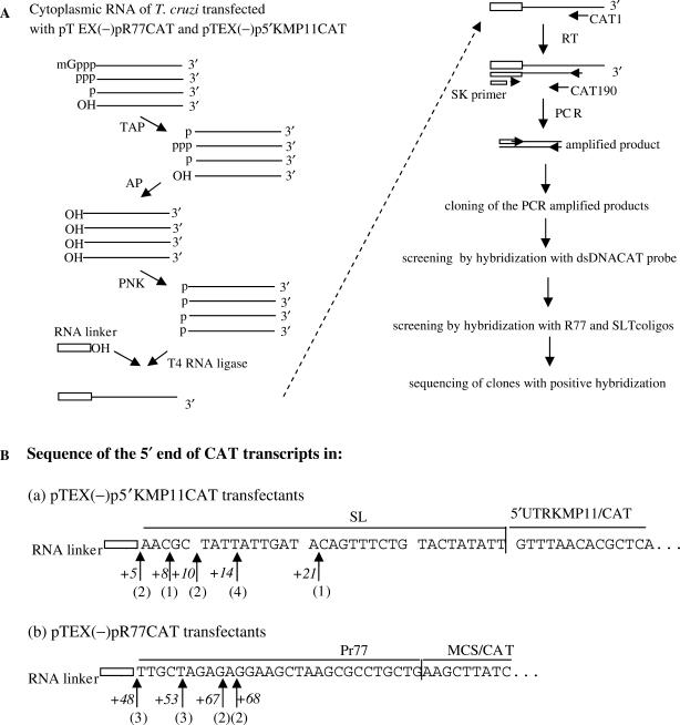 Analysis of the 5′end of CAT mRNAs derived from the 5′UTRKPM11 region and the Pr77 promoter. (A) Outline of the method used. Cytoplasmic RNA from T. cruzi transfected with pTEX(−)pR77CAT and pTEX(−)p5′KMP11CAT (used as a control) was decapped with tobacco acid pyrophosphatase (TAP), dephosphorylated with alkaline phosphatase enzyme (AP) and phosphorylated by polynucleotide kinase (PNK) treatment. The changes produced in each case at the 5′ end of the treated RNAs are indicated. A linker RNA was ligated at the 5′ end of the transcripts using T4 RNA ligase. cDNA was synthesized by reverse transcription (RT) using a CAT gene specific primer (CAT1) that maps at position 191–208 from the CAT start codon, followed by PCR-amplification using a second CAT gene antisense primer (CAT90) mapping at position 71–90 from the CAT start codon, and finally an oligo corresponding to the sequence of the linker RNA. PCR products were cloned into the pGEM-T®-easy vector. Plasmid DNAs from the transfected bacteria selected by positive hybridization to CAT (ds DNA) and SLTc or R77 probes were sequenced. (B) Sequence at the 5′ end of processed CAT transcripts in pTEX(−)p5′KMP11CAT (a) and pTEX(−)pR77CAT (b) transfectants. The sequences shown are those downstream of the RNA linker sequence. Arrows indicate the first nucleotide of the 5′end of the CAT transcripts derived from the 5′UTRKMP11 and Pr77 sequences. The position of the first nucleotide of each transcript, with respect to the 5′end of SL and Pr77 sequences, is shown in italics. The number below the arrows corresponds to the quantity of clones starting at this position. Sequences corresponding to the splice leader sequence (SL), 5′UTRKMP11 (5′UTRKMP11CAT ), L1TcPr77 (Pr77) and multi-cloning site – CAT region (MCS-CAT) are indicated.