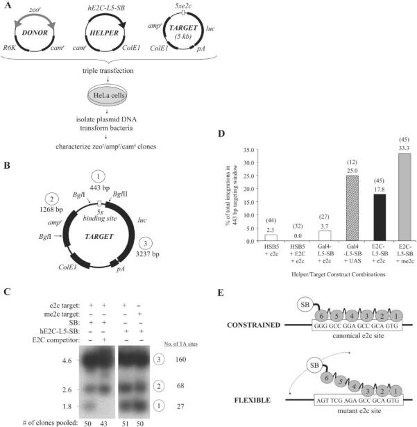 Site-directed transposition in human cells. ( A ) Schematic overview of plasmid-based assay for investigating site-directed transposition. Transposition was initiated by transfecting human HeLa cells with a plasmid encoding chimeric or unfused HSB5 transposase, together with a donor plasmid encoding a bleomycin-marked (zeo r ) transposon and a counter-selectable chloramphenicol-resistance (cam r ) gene. These plasmids were co-delivered with an ampicillin-resistant (amp r ) target plasmid containing five tandem DBD recognition sequences and allowed to undergo transposition. Low-molecular weight plasmid DNA fractions were isolated 2 days later and transformed into DH10B E. coli . Replication of the R6K origin-containing donor plasmid is strictly dependent on expression of the pir1 gene product, which is absent in this bacterial strain. Amp r /zeo r bacterial colonies were patched onto LB-cam r plates to screen for inter-plasmid transposition events specific for the target plasmid (i.e. cam s ). Both pooled and clonal amp r /zeo r /cam s populations of bacteria were amplified, plasmid DNA isolated and the locations of transposon insertions relative to the target sites determined by restriction site analyses and DNA sequence analyses, respectively. ( B ) Target plasmid features. Positions of BglI and BglII restriction endonuclease recognition sites are shown, as are the sizes for each resulting DNA fragment. ( C ) Southern blot analysis of targeted integration. For each experimental condition, 500 ng of plasmid DNA isolated from pooled amp r /zeo r /cam s bacterial colonies ( n = 43–51) was treated with BglI-BglII restriction enzymes. Samples were resolved on an agarose gel, transferred to nitrocellulose, hybridized to a 32 P-radiolabelled probe corresponding to the left SB transposon inverted repeat, and resulting bands visualized upon autoradiography. In one instance, excess E2C DNA-binding domain was co-expressed with transposase protein to determine whether associat