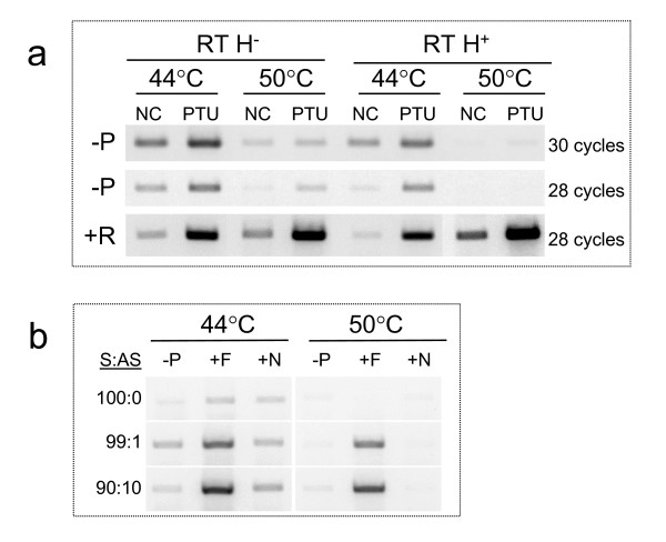 Testing different RT enzyme properties and conditions .  (a)  In a two-step RT-PCR system, 2 μg total RNA from NC and PTU treated hearts were reverse transcribed in 20 μl reactions in absence (-p) or presence (+p) of RT primers. The RT primer targeted the MYH7 sense RNA, and the PCR primer set amplified a 284 bp product corresponding to the 3' end of the MYH7 gene. PCR used 1 μl cDNA and was carried out for either 28 or 30 cycles. Shown are results from using two different RT enzymes that differed by their RNase H properties. RNase H -  and RNase H + . For each enzyme, the RT reactions were carried out under two different temperatures: 44°C or 50°C for 30 minutes/ea.  (b)  RT-PCR targeting the antisense MYH7 RNA in total RNA mixes of known proportions of sense and antisense RNA. RNA template contained either only sense MYH7 RNA, or a mix of sense and antisense MYH7 RNA corresponding to 99 to1 or 90 to 10 sense to antisense ratios (S:AS). Soleus total RNA was used as a source of the sense MYH7 RNA in absence of antisense. Whereas, T3-treated heart total RNA was used as a source of the antisense MYH7 RNA without co-expression of the sense. Mixes of soleus and T3 treated heart RNA were used to achieve the noted S:AS amounts in 2 μg of total RNA per 20 μl reactions. Reverse transcriptions were carried out in absence of RT primers (-P), in presence of the forward primer (+F) targeting the antisense, and in presence of a non specific primer corresponding to the 3' untranslated region of the human MYH4 mRNA sequence (+N). RT reactions used RNase H -  RT (Invitrogen), performed at 44°C or at 50°C for 30 min. PCR was carried out on 1 μcDNA for 28 cycles targeting the 3' end of the MYH7 gene. See Additional file 4 for primers information.