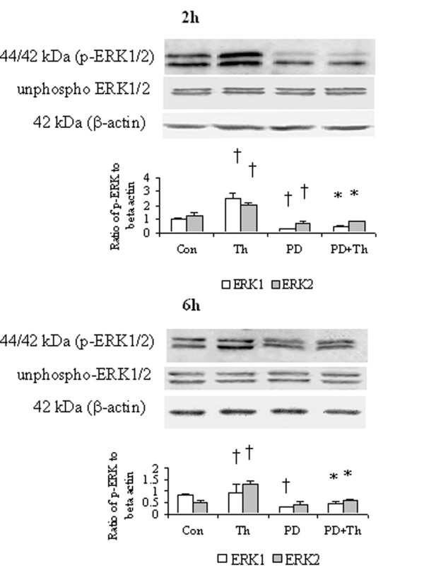 Western blot analysis of effect of PD98059 (PD), a MAPK pathway inhibitor on the phosphorylation of ERK1/2 in HDFs. Cells were incubated with PD (50 μM), thrombin (Th, 5 U/ml) or Th + PD at 37°C for 2 h or 6 h, respectively. Densitometry analysis of immunoblots was carried out using a Scion Image software. The relative levels of phospho-ERK1/2 were expressed as the ratio to β-actin. The values shown are Mean ± SD for four separate experiments. Cells from each one of the four dermal fibroblast donors were used for one independent experiment. † P