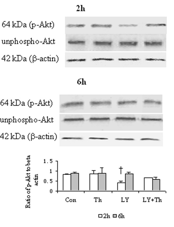 Western blot analysis of effect of LY294002 (LY), a PI3K pathway inhibitor on phosphorylation of Akt in HDFs. Cells were incubated with LY (40 μM), thrombin (Th, 5 U/ml) or Th + LY at 37°C for 2 h or 6 h, respectively. Densitometry analysis of immunoblots was carried out using a Scion Image software. The relative levels of phospho-Akt were expressed as the ratio to β-actin. The values shown are Mean ± SD for four separate experiments. Cells from each one of the four dermal fibroblast donors were used for one independent experiment. † P