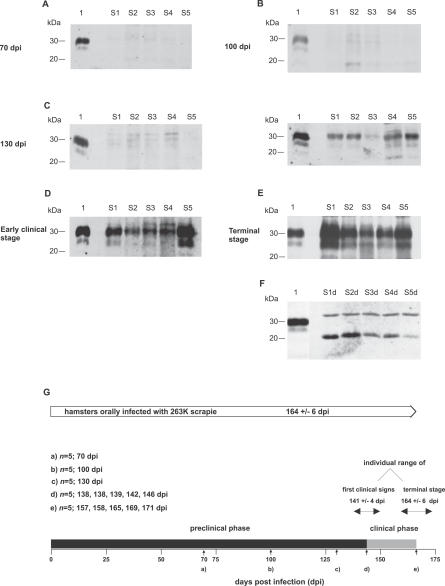 Time-Course of PrP Sc  Deposition in Skin Tissue (A–E) Western blot detection of PrP27–30, the protease-resistant core of PrP Sc , extracted from different skin samples of hamsters orally challenged with 263K scrapie and sacrificed at the following time-points after infection: (A) 70 dpi, (B) 100 dpi, (C) 130 dpi, (D) at the onset of clinical signs for scrapie (138–146 dpi), and (E) at the terminal stage of disease (157–171 dpi). Lanes with test samples: S1, skin sample from hindlimb; S2, skin sample from forelimb; S3, skin sample from back; S4, skin sample from abdomen; S5, skin sample from head. Lanes with control samples: 1, proteinase K–digested brain homogenate from terminally ill 263K scrapie hamsters containing 1 × 10 −7  g brain tissue. Representative results are shown for each stage of incubation. Substantial individual variation was observed at 130 dpi, with two of five and three of five animals displaying findings as in (C) in the Western blot on the left-hand side or the Western blot on the right-hand side, respectively. (F) Lanes S1d–S5d: Same samples as in S1–S5 of (E) but deglycosylated with PNGaseF. (A–F) Amounts of tissue represented in lanes: (A) S1, 43 mg; S2, 52 mg; S3, 68 mg; S4, 58 mg; S5, 73 mg; (B) S1, 78 mg; S2, 44 mg; S3, 63 mg; S4, 67 mg; S5, 50 mg; ([C], Western blot on the left side) S1, 42 mg; S2, 76 mg; S3, 61 mg; S4, 58 mg; S5, 73 mg; ([C], Western blot on the right side) S1, 51 mg; S2, 63 mg; S3, 70 mg; S4, 87 mg; S5, 54 mg; (D) S1, 63 mg; S2, 68 mg; S3, 90 mg; S4, 50 mg; S5, 68 mg; (E) S1, 55 mg; S2, 73 mg; S3, 80 mg; S4, 88 mg; S5, 70 mg; (F) S1d, 12 mg; S2d, 14 mg; S3d, 19 mg; S4d, 12 mg; S5d, 20 mg. (G) Time-scale displaying the mean incubation period and the pre-clinical and clinical phases of incubation of hamsters orally infected with 263K scrapie. Small vertical arrows indicate time-points at which animals were tested for PrP Sc  in skin samples.