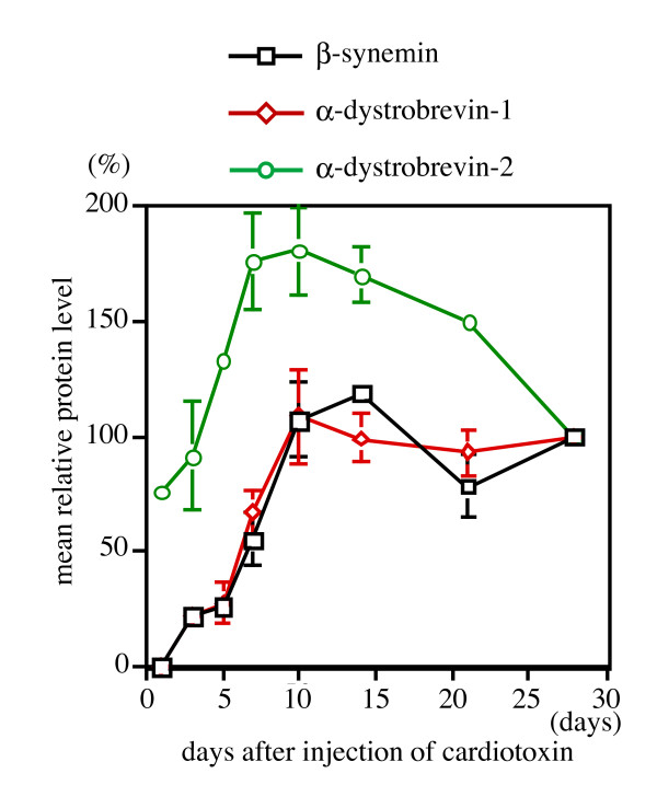 Quantitation of β-synemin, α-dystrobrevin-1 and -2 expression following cardiotoxin injection. The mean relative protein levels were determined for β-synemin, α-dystrobrevin-1 and -2 (n = 9) at each time point by quantifying expression on western blots. The mean relative protein level of β-synemin and α-dystrobrevin-1 on days 1 and 28 were set at 0 and 100%, respectively. α-Dystrobrevin-2 expression at day 1 was not set at 0% because this protein was clearly expressed at that time. For other days, protein levels were calculated by dividing the density of the assayed protein band by the density of the band on day 28 and adjusting the data to a percentage.