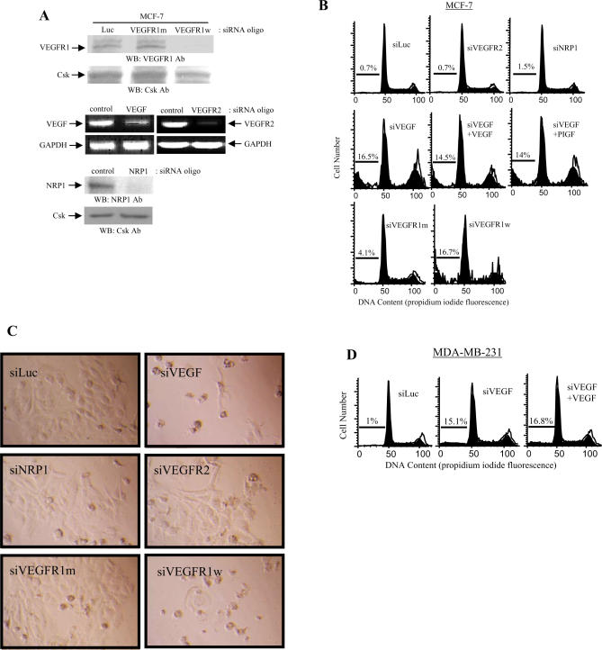 Effect of VEGF and VEGF Receptor siRNA Oligonucleotides on the Survival of MCF-7 Cells (A) MCF-7 cells were transiently transfected with various VEGF or VEGF receptor siRNA oligonucleotides, as indicated. Transfection procedures were performed with DharmaFECT-1 reagent according to the manufacturer's protocol. After 5 d of incubation, the cells were lysed and subjected to Western blotting (WB) using anti-VEGFR1 or anti-NRP1 antibodies. Total protein extracts were analyzed by Western blotting using anti-Csk antibody as an internal control. Alternatively, after 5 d of transfection, total RNA (5 μg) was isolated and subjected to RT-PCR analysis for VEGF and VEGFR2 mRNA expression. GAPDH mRNA is shown as an internal control. (B) MCF-7 cells were transiently transfected with siLuc, siNRP1, siVEGF, or various VEGF receptor siRNA oligonucleotides in the absence or presence of PGF (20 ng/ml) or VEGF (20 ng/ml), as indicated. After 5 d of incubation, the cells were harvested and subjected to cell cycle analysis. The data are representative of three individual studies. m, mutant; w, wild type. (C) MCF-7 cells were transiently transfected with siLuc, siNRP1, siVEGF, or various VEGF receptor siRNA oligonucleotides as shown. After 5 d of incubation, the cells were observed under a light microscope. (D) Effect of VEGF on the cell cycle in MDA-MB-231 cells. MDA-MB-231 cells were transiently transfected with siLuc or with siVEGF oligonucleotides in the presence or absence of VEGF (20 ng/ml). After 5 d of incubation, cells were harvested and subjected to cell cycle analysis. The data are representative of three individual studies.