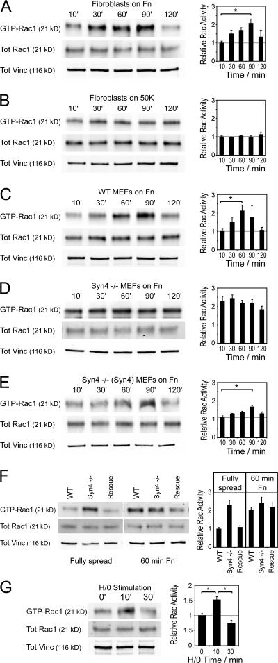 Engagement of syndecan-4 is essential for activation of Rac1 during adhesion to fibronectin. GTP-Rac1 levels during cell spreading or in response to H/0 were measured by effector pull-down assays in combination with quantitative Western blotting using fluorophore-conjugated antibodies. (A and B) Primary human fibroblasts were plated onto fibronectin (A) or 50K (B), and lysates were prepared after appropriate time periods. (C–E) The necessity of syndecan-4 expression for Rac1 regulation during spreading on fibronectin was tested using wild-type (C), syndecan-4–null (D), or syndecan-4–null transfected with full-length syndecan-4 cDNA MEFs (E). (F) Relative levels of GTP-Rac1 were directly compared between cell lines either fully spread (120 min) or during spreading on fibronectin for 60 min. (G) Rac1 activation in response to soluble H/0 in primary fibroblasts prespread on 50K. Equivalent loading between experiments was confirmed by blotting crude lysates for total Rac1 and vinculin. Axes are given in arbitrary units assigned according to the relative activity of fully spread cell lines. Each panel is representative of at least four separate experiments, and error bars indicate SEM. Asterisks indicate significant activation (*, P