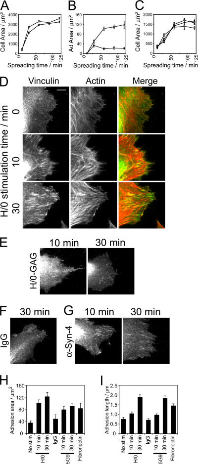 Engagement of syndecan-4 drives the biphasic formation of adhesion complexes. The processes of spreading and adhesion complex formation were followed by staining fixed cells for vinculin and actin and measuring the cell area (A and C) or focal adhesion area (B and H) of 100 cells or the mean focal adhesion length (I) of 30 cells using ImageJ software. (A and B) Primary fibroblasts spreading on 50K (circles) or fibronectin (crosses). (C) Wild-type (crosses), syndecan-4–null (circles), or rescued (squares) MEFs spreading on fibronectin. (D–G) Adhesion complex formation in response to syndecan-4 engagement was followed in primary fibroblasts prespread on 50K for 2 h before stimulation with H/0 (D), a nonheparin-binding mutant of H/0 (E), nonimmune IgG (F), or 5G9 monoclonal antibody directed against the syndecan-4 extracellular domain (G). (H and I) Focal adhesion area (H) and mean focal contact length (I) of primary fibroblasts prespread on 50K for 2 h before stimulation with syndecan-4 ligands. Images and analyses are representative of experiments performed on six separate occasions. Error bars indicate SEM. Bar, 10 μm.