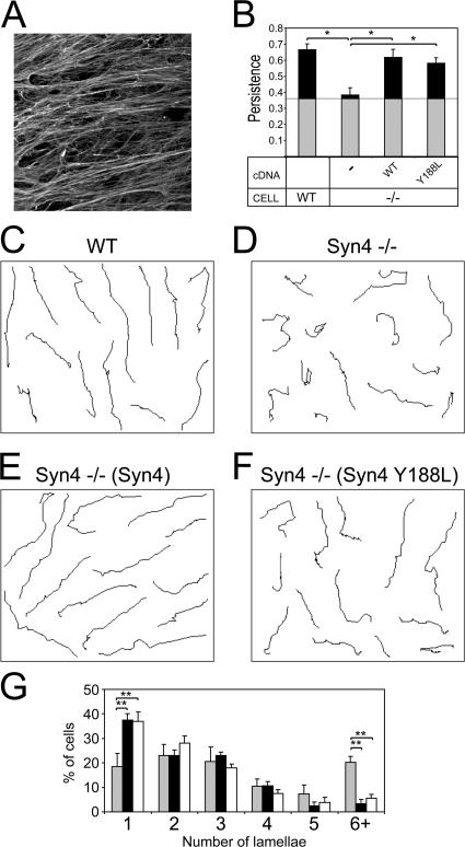 Expression of syndecan-4 determines the persistence of migration on cell-derived matrices. (A) Cell-derived matrices were generated by culturing human fibroblasts for 8 d before denuding the confluent fibroblasts and reseeding mutant MEF lines. (B) MEFs were seeded onto cell-derived matrices and were allowed to grow for 8 h before filming for 10 h. Persistence was determined by dividing the linear displacement of a cell by total distance migrated. Gray blocks represent the experimentally determined threshold for the random migration of cells on fibronectin-coated glass. (C–F) Migration tracks of MEFs over the 10-h filming period. The tracks of cells from three different fields of view have been compressed into each panel. (G) The number of lamellae present in syndecan-4–null MEFs (gray), reexpressing wild-type (black), or Y188L mutant (white) syndecan-4 were scored manually in all tracked cells at a single time point. Error bars indicate the SEM of 30 different cells, and asterisks indicate a significant difference in persistence (*, P