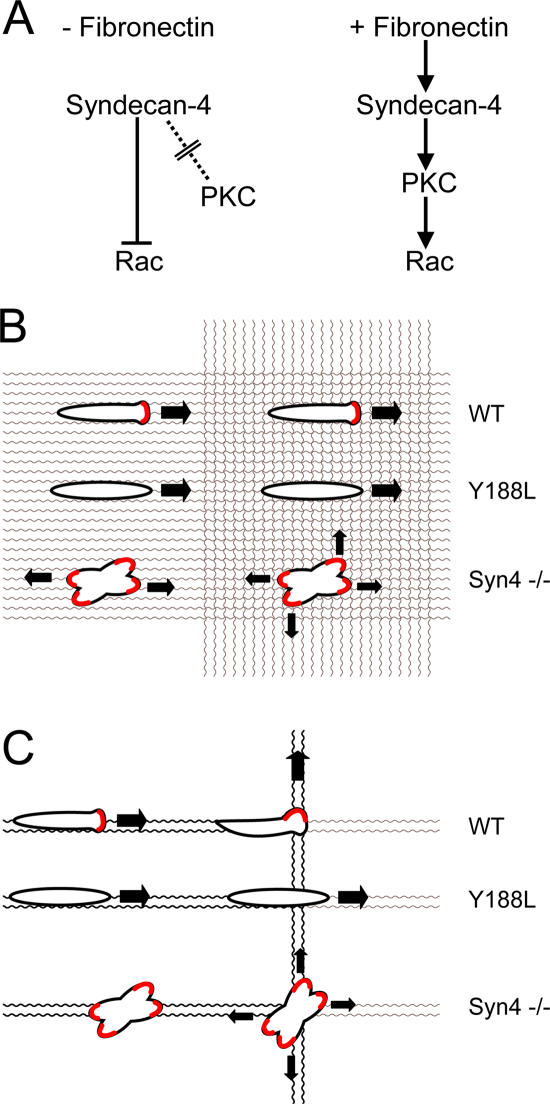 Engagement of <t>syndecan-4</t> determines both the direction and persistence of migration. (A) Syndecan-4 limits Rac1 activity in the absence of matrix engagement and induces activation in response to fibronectin. (B and C) By constraining localized Rac1 activation to developing points of contact with the ECM (red), syndecan-4 coordinates migration along a fibronectin fibril. Consequently, wild-type fibroblasts migrate persistently over a meshwork of similar fibers (B) but follow the dominant strand when presented with a choice of paths (C). In contrast, syndecan-4–null cells protrude in multiple directions, rendering progression inefficient, whereas mutants in the PKCα-binding motif fail to respond to changes in matrix organization or follow the optimal path.