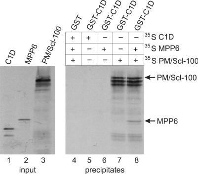 C1D, MPP6 and PM/Scl-100 form a trimeric complex in vitro . GST-tagged C1D was incubated with either 35 S-labeled, in vitro translated C1D (lane 5), MPP6 (lane 6), PM/Scl-100 (lane 7) or MPP6 and PM/Scl-100 (lane 8). As a control, GST alone was incubated with all three labeled proteins (lane 4). After incubation, GST(-C1D)-containing complexes were precipitated with glutathione-Sepharose beads and analyzed by SDS-PAGE and autoradiography. In lanes 1–3, the in vitro translated C1D, MPP6 and PM/Scl-100 proteins were analyzed.
