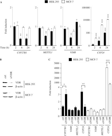 Expression profiling of the human genes CYP27B1, METTL1, VDIR , and CYP24 . Quantitative real-time <t>PCR</t> was performed in order to study the relative mRNA expression levels of the genes CYP27B1, METTL1, VDIR and CYP24 in HEK-293 and MCF-7 cells and their responsiveness to 1α,25(OH) 2 D 3 over time ( A ). The cells were treated with 10 nM 1α,25(OH) 2 D 3 for 2, 6 and 24 h, prior to the extraction of <t>RNA.</t> The dependence of the hormone responsiveness of the genes on VDR expression was investigated by RNAi inhibition experiments. For this purpose, the cells were transfected with unspecific control siRNA oligomers or with specific siRNAs against the VDR mRNA. The siRNA treatment time was 72 h. Silencing of VDR at protein level was verified by immunoblotting using whole-cell extracts ( B ). After siRNA treatment, the cells were further treated with 10 nM 1α,25(OH) 2 D 3 for 3 h. The extracted RNA was reverse transcribed and analyzed by quantitative real-time PCR ( C ). Columns indicate the means of three independent cell treatments and the tips of the bars represent standard deviations. Two-tailed, paired Student's t -tests were performed and P -values (* P