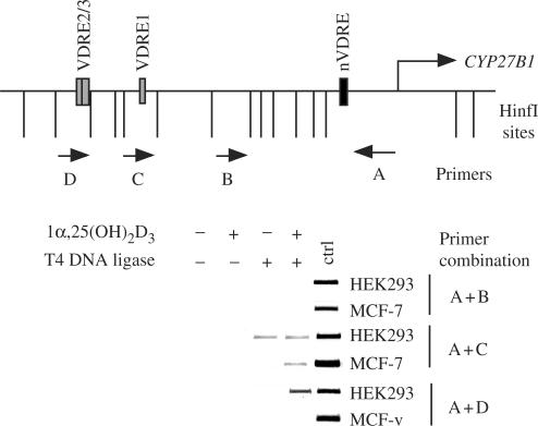 DNA looping connects distal and proximal  CYP27B1  promoter regions. Chromatin was extracted from HEK-293 and MCF-7 cells that had been treated for 120min with 10nM 1α,25(OH) 2 D 3 . The genomic DNA was digested with HinfI (recognition sites represented by vertical lines) and ligated with T4 DNA ligase. PCR was performed on purified genomic template with primer A in combination with primers B, C or D (location indicated by horizontal arrows). Digestions performed with a large subcloned  CYP27B1  promoter fragment provided templates for positive control PCR reactions. Representative agarose gels of the PCR products are shown.