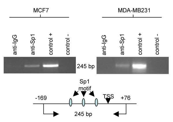 Chromatin immunoprecipitation assay performed on MCF7, and MDA-MB231 breast cancer cell lines to evaluate in vivo Sp1 binding . Proteins were cross-linked to the DNA with formaldehyde and Abs directed against RNA-Pol (Ab control) or Sp1 were added to precipitate any protein-DNA complexes. The control + lane was DNA that had been sonicated and pre-cleared with protein G beads. The control-lanes were processed according to the protocol, but did not have any Ab added to the samples. PCR were performed on isolated DNA using primers encompassing MsrB1 promoter region -169 to +76. A schematic map of the amplified DNA fragment (245 bp) containing Sp1 binding motifs and TSS position is illustrated as well.