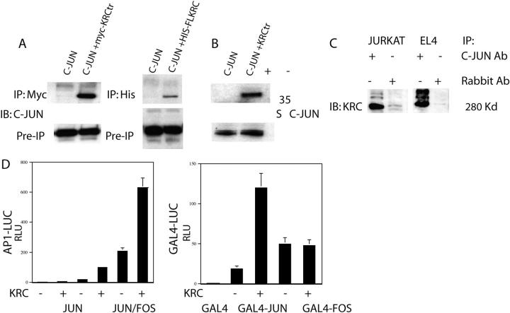 KRC physically interacts with c-Jun and acts as a transcriptional coactivator. (A) 293T cells were transfected with c-Jun and myc-KRCtr. 48 h later, lysates were immunoprecipitated with anti-Myc antibody. Immunoprecipitates were probed by Western blotting with anti–c-Jun antibody. (B) 293T cells were cotransfected with c-Jun and full length His-KRC (left). 48 h later, lysates were immunoprecipitated with anti-His antibody (DE8 Omniprobe), and precipitates were probed by Western blotting with anti–c-Jun antibody. In vitro–translated and S35-labeled c-Jun and His-KRCtr were mixed and immunoprecipitated with anti-His antibody (right). Recovered c-Jun protein was visualized by autoradiography. (C) Jurkat or EL4 T cells were stimulated with PMA plus ionomycin for 45 min. Lysates were immunoprecipitated with anti–c-Jun antibody, and immunoprecipitates were probed with specific anti-KRC rabbit antisera. (D) 293T cells were transfected with AP-1 luciferase along with c-Jun, c-Fos, and KRC (top). 24 h later, luciferase activity was determined as aforementioned. 293T cells were transfected with GAL4 luciferase along with GAL4, GAL4–c-Jun 1-224, or GAL4–c-Fos 208-313 (bottom). 24 h later, luciferase activity was determined as aforementioned.