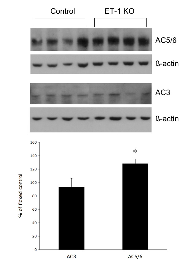 Western analysis of <t>adenylyl</t> cyclases 3 (AC3) and 5/6(AC5/6) in floxed control and CD ET-1 KO IMCD. All results were normalized to β-actin. Upper panel shows representative blot (n = 8 total). Bottom panel shows densitometry analysis. *p
