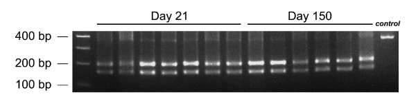 Neurotropic LCMV Armstrong is not selected for in the CNS of clone 13 infected mice . RNA was isolated from LCMV clones extracted from the brains of mice at 21 (n = 7 clones) and 150 days (n = 6 clones) post-clone 13 infection. RT-PCR, PCR and Mnl I restriction enzyme digests were performed as described in the Materials and Methods. The RNA PCR product from the Armstrong GP contains a phenylalanine at position 260 and is not cleaved by Mnl I. In contrast, clone 13 contains a leucine at position 260, and the 362 bp PCR product is cleaved into fragments (202 and 160 bp) by Mnl I. Note that all clones analyzed at both time points had the Mnl I restriction enzyme site. The control lane shows undigested 362 bp GP PCR product.