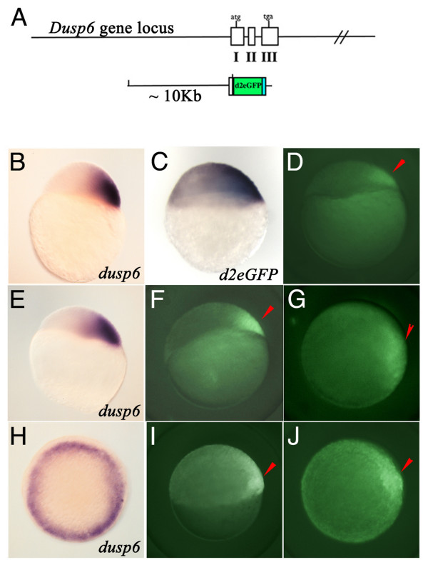 Generation of Dusp6 DNA construct and expression of d2EGFP in transgenic embryos . (A) Diagram showing the Dusp6 gene locus and the DNA construct used in generating transgenic zebrafish. (B, E, H) dusp6 expression at oblong (B) , dome (E) , and shield stage. (C) d2EGFP mRNA expression at sphere stage. (D, F, G, I, J) Tg(Dusp6:d2EGFP) pt 6 embryos at dome (D) , 30% epiboly (F G) , and shield (I J) stage. (B-F I) are lateral views and (H J) are animal views. Red arrowheads mark dorsal region of the embryo.