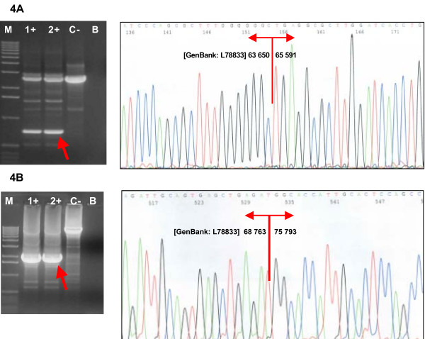Confirmation and characterization of the rearrangements . (A) Confirmation of the deletion of exons 18–19 by long-range PCR and sequencing of the breakpoints. (B) Confirmation of the deletion of exon 20 and sequencing of the breakpoints.Lanes 1+, 2+, carriers of the deletion; lane C-, negative control (wt); lane B, blank; lane M, marker (Ready-Load™ 1 Kb DNA Ladder, Invitrogen).