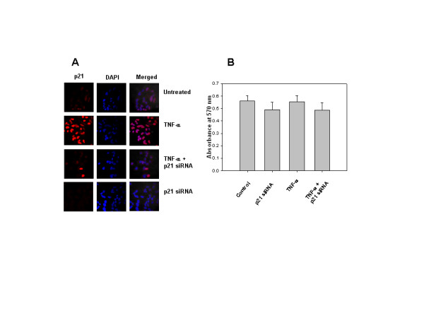 A-B. TNF-α-induced p21 does not have antiapoptotic function . (A) LN-18 cells were grown on coverslips and transfected with p21 siRNA oligonucleotides (100 nM) for 24 hr. Control and transfected cells were treated with TNF-α (10 ng/ml) for 3 hr. Cells were stained with p21 antibody followed by secondary antibody labeled with Cy3. DAPI was used for nuclear staining (blue fluorescence), merged images show nuclear localization of p21 (Magnification 63×). (B) Effect of TNF-α on viability in p21 siRNA transfected cells done by MTT assay. The graph represents mean +/- SD of 3 experiments done in duplicates.