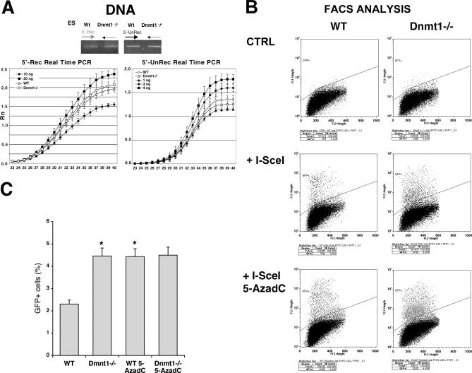 Dnmt1 Inhibits the Expression of Recombinant GFP Genes Wild-type or Dnmt1−/− ES cells carrying DR-GFP were transfected with the I-SceI expression vector and PSVbGal, grown 4 d, and analyzed for GFP recombination and expression. (A) Genomic DNA from the two cell lines was PCR-amplified with nonrecombinant (5′-unrec) and recombinant (5′-rec) primers. The specificity of the products and the linearity of the reactions were controlled as described in Materials and Methods. qPCR of the same samples was carried out as described in Materials and Methods. (B) FACS analysis of cells transfected with I-SceI is shown. The gating of GFP + cells was created to exclude up the 99.5% of wild-type untransfected ES cells. The same gating applied to Dnmt1−/− cells shows a significant increase in the population expressing GFP. Following I-SceI transfection, Dnmt1−/− cells were treated with 5-AzadC as described in Materials and Methods. Treatment with 5-AzadC increased the fraction of cells expressing GFP in wild-type ES but did not enhance the expression of GFP in the Dnmt1−/− cells (C) The histogram showing the fraction of GFP + cells derived from three experiments is shown. To obtain reliable values of differential GFP fluorescence in ES and Dnmt1−/− cells, we compared the percentage of GFP + cells, normalized for the transfection efficiency in six experiments (three in duplicate), with the Wilcoxon Kruskal-Wallis Test, *, p