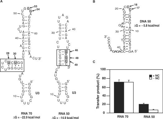 Influence of acceptor RNA secondary structure on minus-strand transfer. ( A ) Secondary structures of RNA 70 and RNA 50 acceptor RNAs, based on m Fold analysis and extensive RNase mapping studies ( 28 ). The 20-nt U3 sequences are indicated. (Note that m Fold predicts that two bases from U3, C19 and U20, are part of the stem-loop structure at the 5′ end of RNA 70). The predicted Δ G values are shown beneath the structures. The potential nucleation site at the 5′ end of each RNA is boxed. The arrows point to residues in RNA 70 and RNA 50 (gray shading) that were mutated. ( B ) Secondary structure of DNA 50, based on m Fold analysis and enzymatic mapping studies ( 28 ). The predicted Δ G value is shown on the right. The arrows indicate residues C17 and C18 (gray shading) that were mutated. Note the 11-nt single-stranded sequence at the 3′ end of the DNA. ( C ) NC-mediated minus-strand transfer. DNA 50 and RNA 70 or RNA 50 were present in reactions at a 1:1 ratio of (−) SSDNA to acceptor RNA, each with a final concentration of 10 nM. These nucleic acid concentrations were used in all of the experiments described below. Incubation was for 60 min in the absence or presence of HIV-1 NC (0.88 nt/NC), as described under the Materials and Methods section, and was followed by PAGE and PhosphorImager analysis. The bar graph shows the percentage (%) of minus-strand transfer product synthesized in each reaction. Plus NC, closed bars; minus NC, open bars.