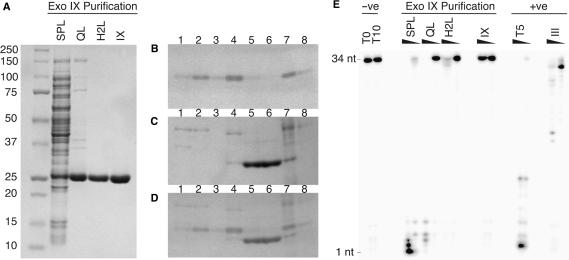 Chromatographic separation of 3′-5′ exodeoxyribonuclease activity associated with preparations of Exonuclease IX. ( A ) SDS–PAGE analysis of the purification of ExoIX from cell lysate of induced BL21 (pJONEX/ xni , pcI857). SPL, cleared cell lysate applied to SP/first Heparin column (28 µg); QL, Q load (6 µg); H2L, second Heparin column load (5 µg); IX, concentrated ExoIX eluate from second Heparin (7.5 µg). (B–D). Eluted fractions from first Heparin column were separated by SDS–PAGE. ( B ) Ethidium bromide stained substrate gel. High molecular weight DNA cast in the gel fluoresces with UV, while regions of DNA degradation appear as darker bands. Early fractions (lanes 1–4), contain detectable exonuclease activity. ( C ) The same gel counter-stained with Coomassie G250. Over-expressed ExoIX is eluted in later fractions (lanes 5 and 6). ( D ) Superimposition of images in panels B and C, demonstrating that exonuclease activity can be resolved from ExoIX. A fraction represented in lane 4 was used for subsequent enrichment and identification of the co-purifying nuclease. Lanes, 1–6, heparin fractions (2.5 µl); 7, loading sample (5 µl); 8, flow through (5 µl). ( E ) Highly purified ExoIX lacks activity on a single-stranded DNA substrate (34-mer). Protein samples taken during the purification of ExoIX were incubated with 15 fmol 32 P-labelled 34-mer at 37°C for 10 min in the presence of 10 mM MgCl 2 and the reaction products separated by denaturing PAGE. Reactions (10 µl) contained varying amounts of protein. SPL, 0.7 and 0.07 µg of protein from cell-free extract of induced cells expressing ExoIX; QL, 0.1 and 0.01 µg of protein loaded on to first anion exchange column; H2L, 3 and 0.3 µg of protein from sample loaded onto second heparin column; IX, contains samples from final purified fraction of ExoIX eluted from second heparin column, 5 and 0.5 µg; two positive controls are also shown, bacteriophage T5 D15 exonuclease (T5), 0.1 and 0.01 µg and exonuclease III (III), 0.03 and 0.003 µg.