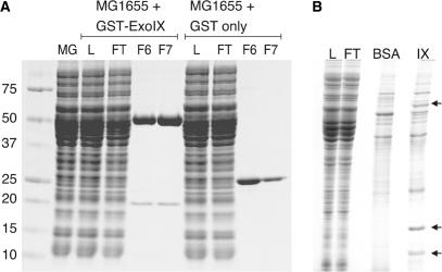 Protein interactions of ExoIX. ( A ) SDS–PAGE analysis of the protein–protein interactions of GST–Exo IX and lysate of  E. coli  MG1655. Cell free lysate of  E. coli  MG1655 was pre-incubated with either GST–ExoIX or GST for 1h at 4°C. The mixtures were loaded onto a GSTrap column (GE Biosciences), washed and eluted with 10mM glutathione. Of the proteins which specifically eluted with GST–Exo IX only one was visible in the final gel image (∼20kDa). Lanes, MG, MG1655 cell free lysate; L, GSTrap load; FT, flow through; F6/7, eluted fractions. ( B ) SDS–PAGE analysis of pull-down assays with ExoIX-Sepharose. MG1655 lysate was treated with DNase I, prior to incubation with immobilized protein. Arrows indicate specific protein interactants which are present in the eluate from ExoIX-Sepharose (  Table 2 ) and absent in the BSA-Sepharose control. Abbreviations, L, MG1655 cell lysate; FT, flow through; BSA, BSA-Sepharose 4B eluate; IX, ExoIX-Sepharose eluate.
