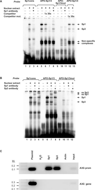 Sp1 and Sp3 bind to the GC-box present in the A3G promoter. ( A ) Nuclear extracts of A3.01 T cells were incubated with a 32 P-labeled commercial Sp1 oligonucleotide probe (Sp1cons) or labeled probes homologous to the unmodified or mutated E2 region (see Figure 1 ) of the A3G promoter (APO-Sp1/3 and APO-Sp1/3mut). Protein–DNA complexes were separated by polyacrylamide electrophoresis and detected by autoradiography. EMSA was performed with a 1- or 30-fold molar excess of unlabeled APO-Sp1/3 probe (competitor, lanes 6 and 7) or APO-Sp1/3mut probe (competitor mut., lanes 12 and 13). ( B ) Sp1- and Sp3-specific antibodies were added to the EMSA reactions resulting in a supershift (ss) of the respective antibody–protein–oligo complexes (lanes 3, 4, 7, 8, 11, 12). ( C ) ChIP assay was performed with DNA from A3.01 T cells. Immunoprecipitation was performed with antibodies against Sp1, Sp3 or actin. PCR primer pairs specific for the A3G promoter (upper panel) or the A3G gene (lower panel) were used. As positive controls, the sheared and cross-linked DNA before the immunoprecipitation step (input) or a plasmid carrying the target sequence (plasmid) was used as template.