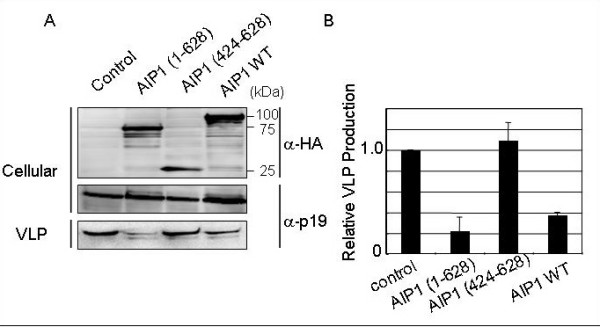 Effects of AIP1/Alix DN mutants on HTLV-1 VLP production . A. 293T cells were cotransfected with pK30-Gag and the expression plasmid for AIP1 (1–628), AIP1 (424–628), or AIP1 WT, or the empty vector as a control. Extracellular VLPs were pelleted from the culture fluids. VLP- or cell-associated Gag was detected by WB using anti-p19 monoclonal antibody. B. Intensities of the bands corresponding to cell- and VLP-associated Gag in A were quantified using the LAS3000 imaging system (Fuji Film). The efficiency of Gag-induced VLP budding in cells cotransfected with pK30-Gag and the control vector (VLP/Cellular) was set to 1.0. The data represent averages and standard deviations (SD) of 3 independent experiments.