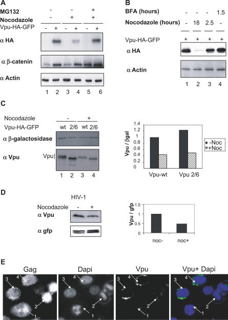 Vpu Degradation in Nocodazole-Treated Cells Is Independent of the SCF βTrCP Activity (A) Vpu degradation occurs via the proteasome pathway. HeLa cells either mock-transfected (lanes 1, 3, and 5) or expressing Vpu-HA-GFP (lanes 2, 4, and 6) were left untreated or treated for 18 h with nocodazole (lanes 3–6). Where indicated, MG132 was added 6 h prior to harvest of cells. Cell lysates were analyzed by western blot using the indicated antibodies. (B) Vpu expression is not sensitive to brefeldin A or to short nocodazole treatments. HeLa cells expressing Vpu-HA-GFP were treated with nocodazole during either 18 h (lane 2) or 2.5 h (lane 3) and with BFA during 1.5 h (lane 4) or DMSO alone (lane 1). Cell lysates were separated by SDS-PAGE and analyzed by western blot using the indicated antibodies. (C) Degradadion of Vpu in nocodazole-treated cells does not require a functional βTrCP-binding site. HeLa cells were transfected with the expression vectors encoding either wild-type Vpu-HA-GFP (lanes 1 and 3) or the Vpu 2/6-HA-GFP mutant defective in βTrCP binding (lanes 2 and 4), together with a plasmid expressing Myc-βgalactosidase used as an internal reporter. Cells were left untreated or treated 18 h with nocodazole as indicated. Vpu-HA-GFP and Myc-βgalactosidase were revealed by western blot using anti-Vpu and anti-myc antibodies, respectively. The histogram represents the Vpu/βgalactosidase ratios, calculated from the respective quantified signals. (D) Vpu expression from the HIV-1 provirus is reduced in nocodazole-treated cells. HeLa cells were transfected with pNL4–3ΔVpr provirus together with a plasmid expressing GFP used as an internal control. Cells were treated with nocodazole where indicated. Vpu was detected by western blot using anti-Vpu antibodies. (E) Vpu is not detectable in infected mitotic cells. HeLa cells were transfected by the pNL4–3 provirus. 48 h after transfection, cells were fixed and analyzed by immunofluorescence using anti-Gag and anti-Vpu antibodi