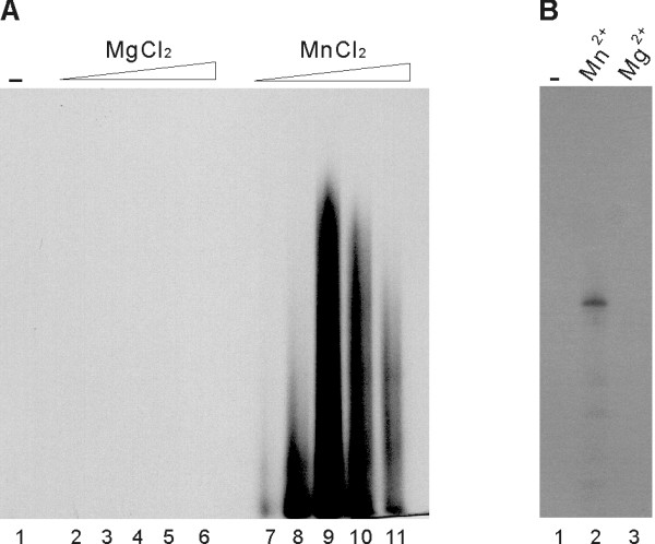 Dependence of JEV RdRp activity on Mn 2+ ion . (A) RdRp assays were performed with the poly(A)/(U) 20 template (A) in the absence (lane 1) or in the presence of increasing concentrations of MgCl 2 or MnCl 2 (lanes 2–6 and 7–11; 0.5, 1.0, 2.5, 5.0, and 10 mM of MgCl 2 and MnCl 2 , respectively). (B) RdRp assays were performed with the 83-nt RNA representing the 3' end of the plus-strand JEV genome, in the absence of metal ions (lane 1) or in the presence of 2.5 mM of the divalent metal ion indicated above the autoradiogram (lanes 2 and 3). RdRp products were denatured and resolved on a medium size (20 × 20 cm) denaturing 5% polyacrylamide gel, and subjected to autoradiography.
