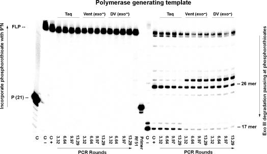 Retention of the d Z :d P pair in products generated by the indicated number of theoretical rounds of PCR using Taq , Vent (exo − ) and Deep Vent (exo − ) at pH 8.0. Left : FLP are formed by extension by 9°N polymerase of 5′- 32 P labeled primer (P-RS-S16) with unlabeled primer (Z-RS) and dZTPαS, dPTP and dNTPs using PCR amplicons generated by Taq , Vent (exo − ) and DV (exo − ) as templates (shown in Figure 7 ). Right : PAGE (20%) resolution of products from Exo III (20 U, final concentration 0.5 U/µl) digestion of the FLP from Left . A band indicates presence of a phosphorothioate linkage, either arising through the incorporation of dZTPαS opposite d P at position 26, or from the synthetic primer joining nucleotidies 16 and 17, or through misincorporation of d Z :d P pair during PCR. Controls (lanes marked C) are: (i) C, incubation without 9°N; the absence of extended primer indicates successful removal of Taq polymerase (lane 1, Figure 7 ) by the QIAquick Nucleotide Remove Kit. (ii) C −, extension by 9°N using synthetic templates containing d Z and d P (at position 26) with standard (oxygen-containing) dZTP and dPTP; absent a phosphorothioate linkage in the extension, Exo III degradation gives a 17-mer due to presence of a phosphorothioate only from the synthetic primer. (iii) C +, extension using synthetic templates as before, but with dZTPαS, generating phosphorothioate linkage in the product, Exo III degradation gives a 26-mer due to the phosphorothioate linkage arising from the incorporation of dZTPαS opposite d P in the synthetic template. P ( 21 ) indicates the 21-mer, 5′- 32 P labeled primer (P-RS-S16).