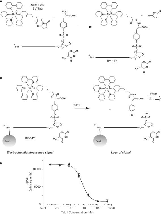 High-throughput electrochemiluminescene assay developed to identify novel Tdp1 inhibitors. ( A ) Generation of the electrochemiluminescent (ECL) substrate (BV-14Y). The ruthenium-containing tag (NHS ester BV-Tag; from BioVeris Corp.) is coupled to the 3′-end of the tyrosyl-containing DNA substrate [14Y (sequence as in 3A) linked to a biotin at its 5′ end]. After coupling, the BV Tag is attached to the phosphotyrosine of the 14Y DNA forming the BV-14Y DNA after the release of a succinimide group. ( B ) Processing of the ECL substrate by Tdp1. The ECL substrate BV-14Y bound to magnetic beads was generated as described in the Materials and Methods section. Upon addition of Tdp1, the tyrosine-BV-Tag group is hydrolyzed away leaving behind a 3′ phosphate on the DNA bound to the beads. After stopping the reactions, the samples are analyzed by the ECL analyzer. During the analysis, only the magnetic beads are retained in the analysis chamber by magnetic field while the rest of the sample is washed away. In the absence of Tdp1, the ECL signal is maximum as the BV-14Y DNA is retained on the magnetic beads. Upon addition of Tdp1, the tyrosine-BV-Tag group is cleaved away resulting in the loss of ECL signal (arrow). Potential Tdp1 inhibitors prevent this loss of signal. ( C ) Signal response curve in the presence of increasing concentrations of Tdp1. The ECL signal is lost when the Tdp1 concentration is increased.