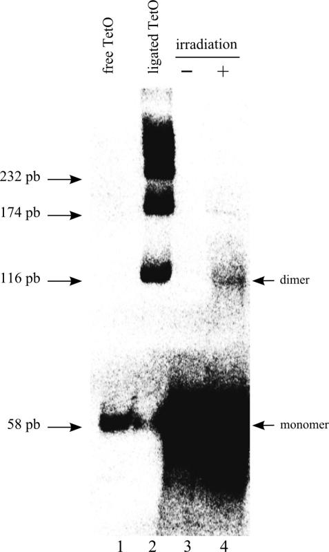 Oligonucleotide ligation by DNA ends-binding protein complexes. After washes, the DNA–protein assemblies were incubated with ATP to allow the ligation of the TetO sequence. In lane 3, the ligation was performed on the beads in presence of ATP then the nucleic sequence was released after irradiation of the chromatographic slurry. In lane 4, the DNA–protein assemblies were recovered after the irradiation step then incubated with ATP. The oligonucleotides were resolved on an 8% non-denaturing polyacrylamide gel and revealed by Southern blot with the radiolabeled non-photocleavable strand of the PCB-TetO duplex. Lane 1 shows the intact TetO oligonucleotide and lane 2 the oligonucleotide ligated by the T4 DNA ligase protein.