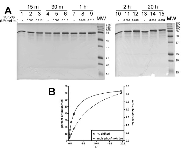 Tau phosphorylation by GSK-3B . A) SDS-PAGE analysis of tau protein incubated for 20 h in the absence (lanes 1, 4, 7, 10, and 13) or the presence of 0.006 U GSK-3β per pmol tau (lanes 2, 5, 8, 11, 14) or 0.018 U GSK-3β per pmol tau (lanes 3, 6, 9, 12, and 15). A definite band shift in the migration of phosphorylated tau can be detected with increasing time and kinase concentration. B) The amount of γ- 32 P incorporation over time using 0.018 U GSK-3β per pmol tau (open circles, right y-axis) is compared to the SDS-PAGE analysis in Panel A (open squares, left y-axis). Lines are drawn through the points to ease comparison. Data represents a single trial.