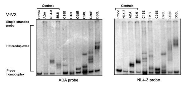 V1V2 HTA analysis . HIV-1 Env V1V2 regions were amplified by PCR from genomic DNA of HIV-1 infected PBMC and subjected to HTA analysis as described in the Methods. HTA analysis using a [ 32 P]-labelled ADA V1V2 Env probe is shown in the left panel, and HTA analysis using a [ 32 P]-labelled NL4-3 V1V2 Env probe is shown in the right panel. Similar results were obtained in three independent experiments.