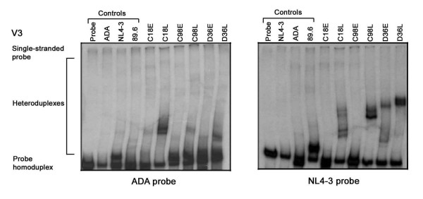 V3 HTA analysis . The HIV-1 Env V3 region was amplified by PCR from genomic DNA of HIV-1 infected PBMC and subjected to HTA analysis as described in the Methods. HTA analysis using a [ 32 P]-labelled ADA V3 Env probe is shown in the left panel, and HTA analysis using a [ 32 P]-labelled NL4-3 V3 Env probe is shown in the right panel. Similar results were obtained in three independent experiments.