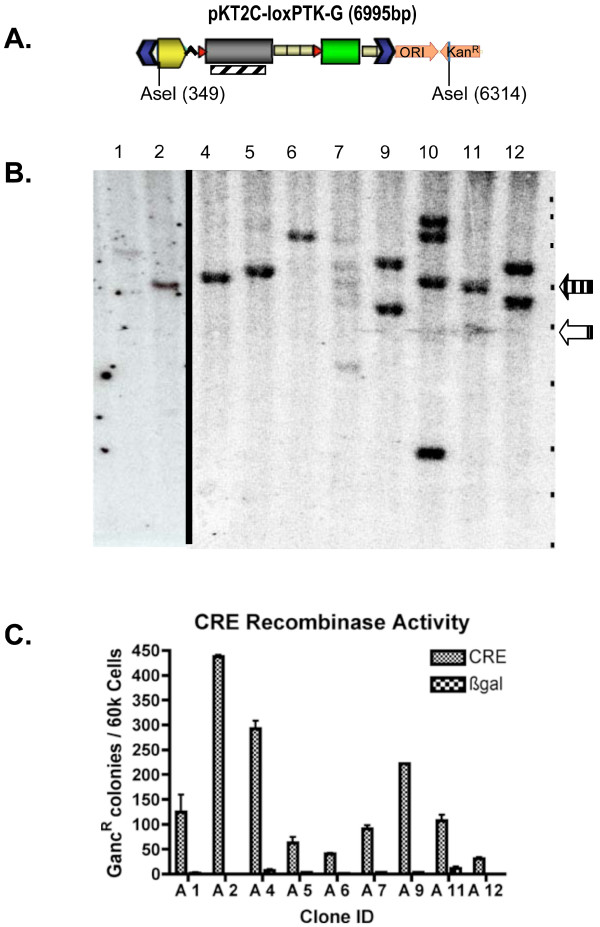 Conditional gene-activation of integrated transposons . Colonies from the transfection of pTC-loxPTK-G with pKUb-SB11 (Fig 5C) were expanded in selective media containing puromycin. DNA from these transgenic colonies was isolated and analyzed by Southern hybridization. A) A schematic of pKT2C-loxPTK-G that shows the AseI restriction sites and the location of the PTK hybridization probe (diagonal lined rectangle) used for Southern analysis. B) A Southern blot of pKT2C-loxPTK-G colonies. The clones were analyzed without Cre excision, so integrants that result from transposition should be equal to or greater than the transposon size of 4.9 kb (open arrow). Whereas, bands associated with concatemer formation are found at 6.0 kb (vertical line arrow). The positions of the DNA marker bands of the 1 kb Quanti-Marker from ISC Bioexpress (Kaysville, Utah), are indicated by black dots on the right of each blot with sizes of 12, 10, 8, 6, 5, 4, 3, 2.5, and 2 kb shown. C) pKT2C-loxPTK-G colonies were transfected with pPGK-nlsCre and plated under gancyclovir selection. Clones with PTK eliminated by recombination became gancyclovir resistant and were counted. Cre-activation of all clones was determined to be significant (p