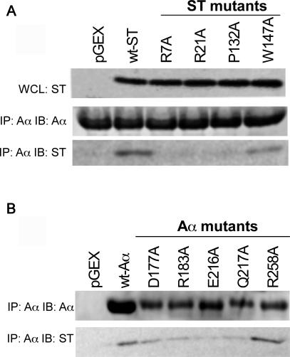 Mutational Analysis of the A-ST Interface (A) Mutation of ST residues predicted to interact with PP2A Aα. Top: Expression of ST in whole cell lysates (WCL). Middle: Isolation of PP2A Aα complexes and <t>immunoblotting</t> with anti-PP2A Aα antibodies. Bottom: Isolation of PP2A Aα complexes and immunoblotting for ST. (B) Mutation of PP2A Aα residues predicted to interact with ST. Top: Isolation of PP2A Aα complexes and immunoblotting with anti-PP2A Aα. Bottom: Isolation of PP2A Aα complexes and immunoblotting for ST.