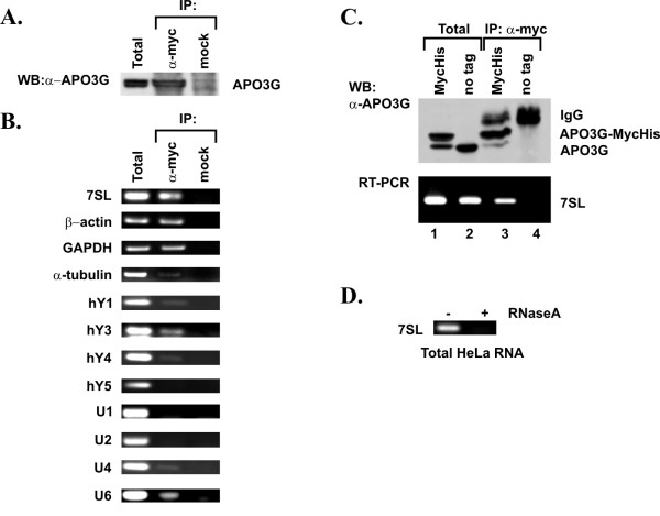 Intracellular association of APO3G and host RNAs. (A) Expression and immunoprecipitation of APO3G. HeLa cells (5 × 10 6 ) were transfected with 5 μg of pcDNA-Apo3G-MycHis plasmid DNA. Cells were harvested 24 h post transfection. An aliquot of the transfected cells was used for the analysis of APO3G expression as follows: Cell lysates were immunoprecipitated with a polyclonal antibody to the myc epitope tag (α-myc) or were mock immunoprecipitated (mock). Immunoprecipitated samples and total cell lysate (Total) were analyzed for the presence of APO3G by immunoblotting using an APO3G-specific polyclonal peptide antibody. (B) The remaining cells from above were used for RT-PCR analysis as follows: Total cellular RNA (Total) or RNA present in the immune complexes (α-myc and mock, respectively) was extracted and used for RT-PCR analysis as described in Methods. Primer pairs were selected for the specific amplification of the RNAs as indicated on the left. Primer sequences are listed in table 1. All RT-PCR reactions were performed simultaneously to minimize experimental error. RT-PCR products were analyzed on 1% agarose gels and visualized by staining with ethidium bromide. (C) HeLa cells (5 × 10 6 ) were transfected with 5 μg of pcDNA-Apo3G-MycHis plasmid DNA (lanes 1 3) or 5 μg of pcDNA-Apo3G (lanes 2 4). Cells were harvested 24 h post transfection and analyzed as in panels A and B. (D) The specificity of the RT-PCR reaction was validated using 7SL RNA as a substrate. Total cellular RNA from panel B was either left untreated (-) or treated with RNase A (50 μg/ml) for 60 min at 37°C (+) prior to RT-PCR.