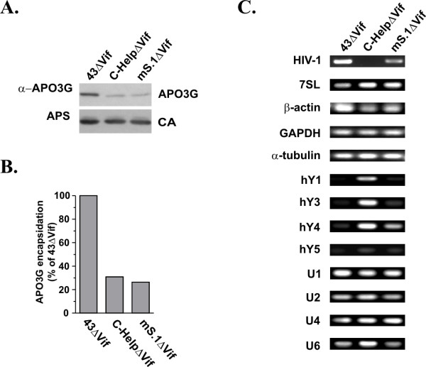 Correlation between cellular and viral RNA encapsidation and APO3G packaging. HeLa cells were co-transfected with pcDNA-APO3G-MycHis together with vif -defective variants of either pNL4-3 (43ΔVif), pC-Help (C-HelpΔVif), or mS.1 (mS.1ΔVif). Viruses were harvested 24 h after transfection and purified as described in Methods. (A) Virus production and packaging of APO3G was monitored by immunoblot analysis using an aliquot of the purified, concentrated virus preparations. APO3G encapsidation was identified using a polyclonal APO3G-specific peptide antibody. Viral capsid proteins (CA) were identified using an HIV-positive human patient serum (APS). (B) APO3G-specific bands in panel A were quantified by densitometric scanning and corrected for fluctuations in capsid levels. Results were calculated relative to APO3G associated with NL4-3ΔVif particles, which was defined as 100%. (C) RNAs were extracted from purified, concentrated viruses and amplified by RT-PCR using primer pairs specific for HIV-1 RNA or host RNAs as indicated on the left and detailed in table 1. RT-PCR products were separated on 1% agarose gels and visualized by staining with ethidium bromide.