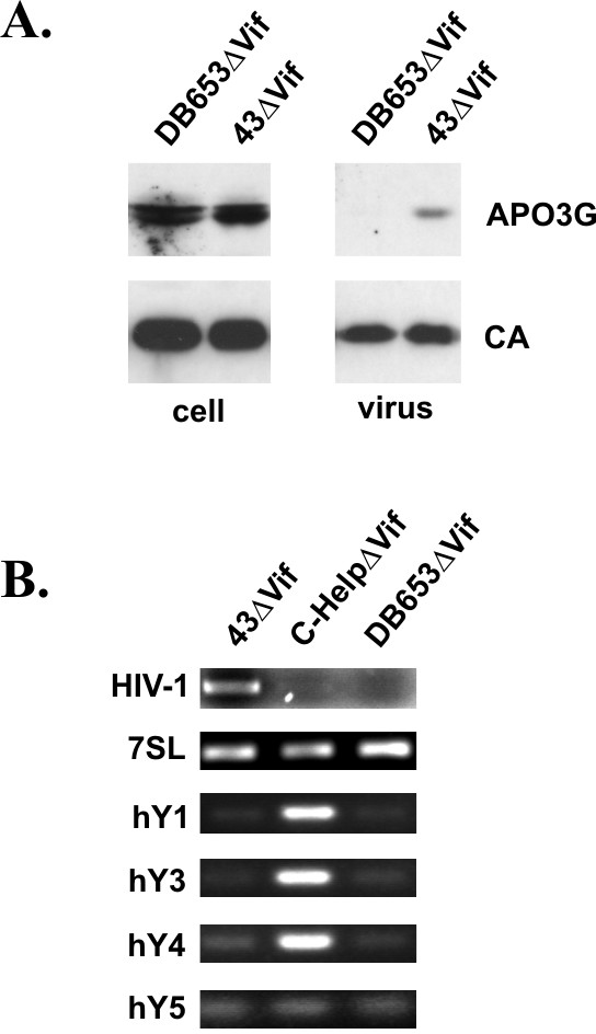 Packaging of hY RNAs requires the NC zinc finger domains. HeLa cells were co-transfected with pcDNA-APO3G-MycHis together with pNL4-3ΔVif (43ΔVif) or pDB653ΔVif. Viruses were harvested 24 h after transfection and purified as described in Methods. (A) Virus production and packaging of APO3G was monitored by immunoblot analysis using an aliquot of the purified, concentrated virus preparations. APO3G encapsidation was identified using a polyclonal APO3G-specific peptide antibody. Viral capsid proteins (CA) were identified using an HIV-positive human patient serum (APS). (B) RNAs were extracted from purified, concentrated viruses and amplified by RT-PCR using primer pairs specific for HIV-1 RNA or host RNAs as indicated on the left and detailed in table 1. RNA extracted from C-HelpΔVif preparations in figure 3 was included as control. RT-PCR products were separated on 1% agarose gels and visualized by staining with ethidium bromide.