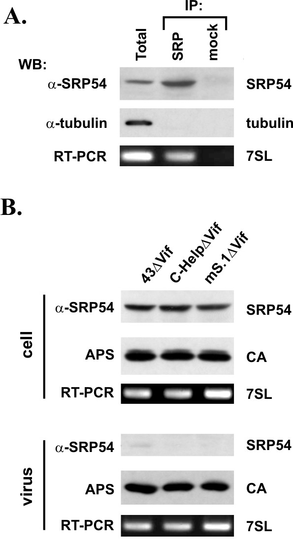 7SL RNA interaction is insufficient for incorporation of SRP54 protein into HIV-1 particles. (A) Cell lysates of untransfected HeLa cells were immunoprecipitated with an SRP54-specific antibody (IP) or were mock-precipitated (Ctrl). Aliquots of total cell lysate (Total) and immunoprecipitates were subjected to immunoblot analysis using antibodies to SRP54 (α-SRP54), α-tubulin (α-tubulin). RNA was extracted from remaining cell lysate and immunoprecipitates and used for RT-PCR amplification of 7SL RNA. (B) HeLa cells were transfected vif -defective variants of either pNL4-3 (43ΔVif), pC-Help (C-HelpΔVif, or mS.1 (mS.1ΔVif). Transfected cells and virus-containing supernatants were harvested 24 h after transfection. Virus-containing supernatants were purified and concentrated as described in Methods. Cell and viral lysates were analyzed by immunoblotting for virus production using an HIV-positive patient serum (APS). Expression and packaging of SRP54 was analyzed using an SRP54-specific antibody oα-SRP54). Total cellular RNA and RNA extracted from concentrated viruses was used for RT-PCR amplification of 7SL RNA.