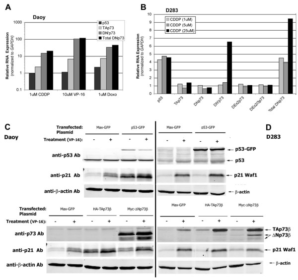 Genotoxic agents induce TP73 expression and apoptosis in medulloblastoma cell lines . (A) Chemotherapeutic agents (cisplatin (CDDP) 1 µM, etoposide (VP-16) 10 µM, and doxorubicin (DOXO) 1 µM) induce TP73 expression in Daoy cells, especially ΔN'p73 species, as determined by <t>qRT-RTPCR</t> normalized to GAPDH expression. (B) CDDP-treated (1, 5, and 25 µM) D283 cells display induction of TP53 and TP73 RNA expression (including ΔN'p73 species) - similar to results observed in CDDP-treated Daoy cells. Western immunoblots reveal that (C) Daoy cells and (D) D283 cells transiently transfected with p53-GFP expression plasmid increase expression of tagged p53-GFP protein (at a higher apparent molecular weight than native p53), as well as the p53/p73 target, p21 Waf1 (arrows, upper panels) . Treatment with etoposide (VP-16, 1.5 µM) stabilizes wild-type p53 protein. Transient transfection with either TAp73 or ΔNp73 expression plasmids also increased respective protein levels, normalized to ß-actin loading control. (arrows lower panels).